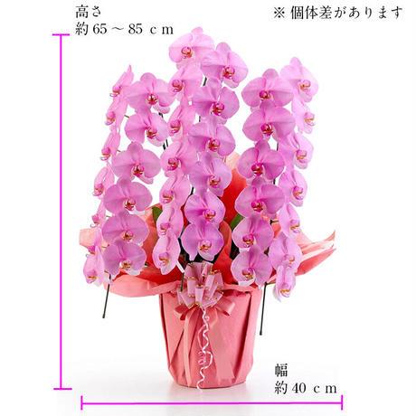 大輪胡蝶蘭 ピンク 3本立 MIYABI「さくら」