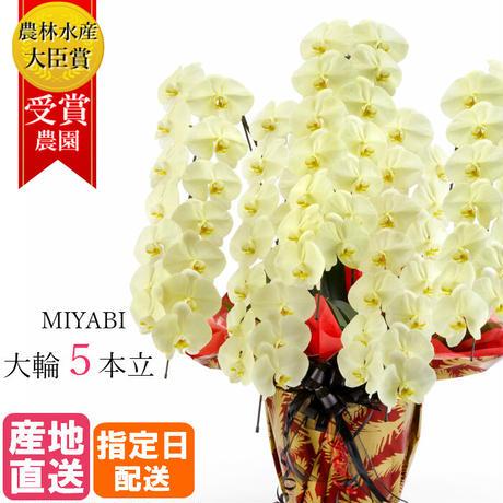 大輪胡蝶蘭 5本立 MIYABI 「きいろ」