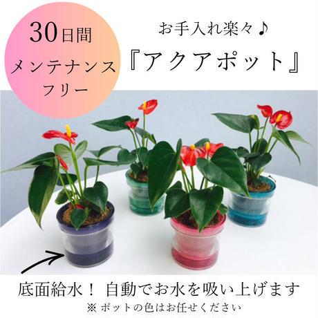 マイクロアンスリウム  お手入れ簡単「アクアポット」観葉植物