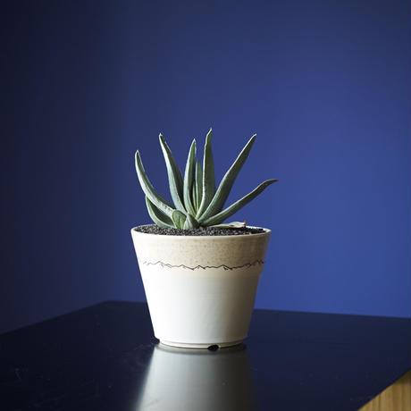 ガステリア白縞班 × AMETSUCHI pot (S)