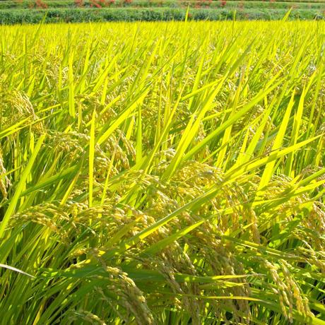 玄米8kg(令和2年産・自然農法無農薬栽培切り替え3年目・にこまる)