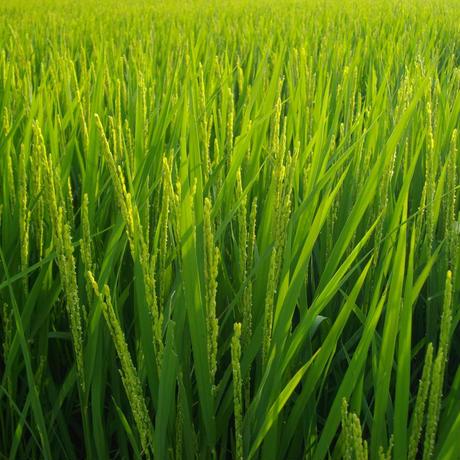 白米/胚芽残10kg(令和2年産・自然農法無農薬栽培切り替え3年目・胚芽を残して精米・にこまる)