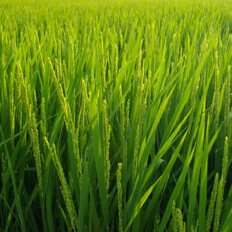 白米2.5kg(令和2年産・自然農法・無農薬米 にこまる)