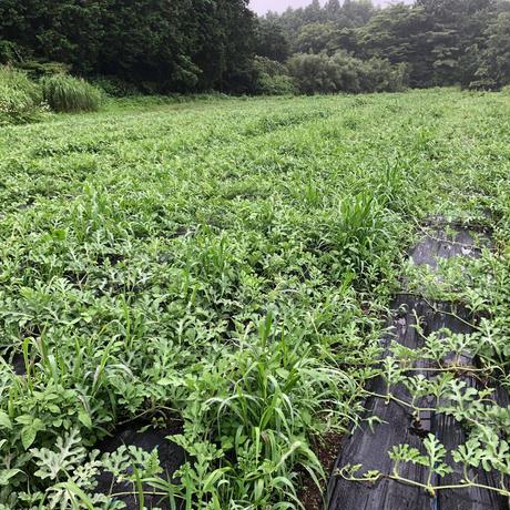 自然栽培 旭大和スイカ 2個
