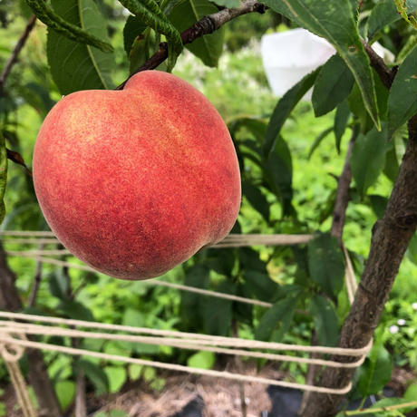 自然栽培桃4個(野菜セットとの同梱発送も可能です)