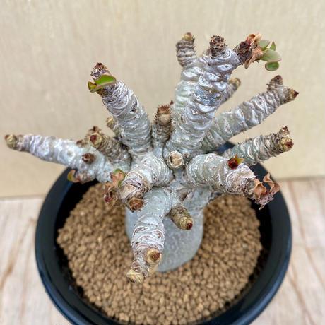 155、Adenium arabicum curly
