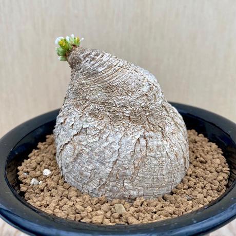 156、Euphorbia プリムリフォリア