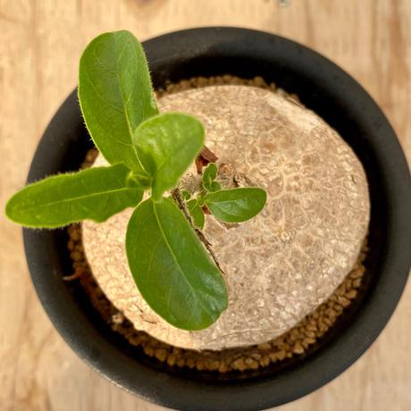 14、Pentagonanthus grandiflorus ssp.glabescens
