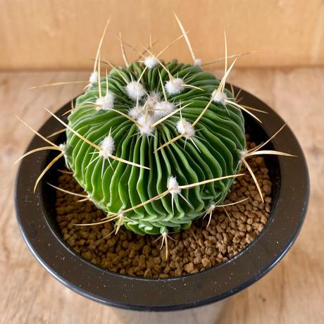 86、Echinofossulocactus 千波万波(実)