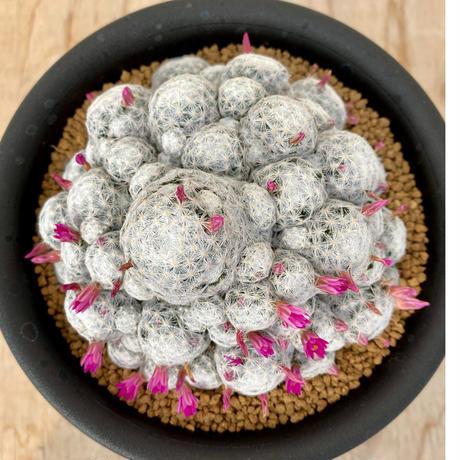 141、Mammillaria 姫春星