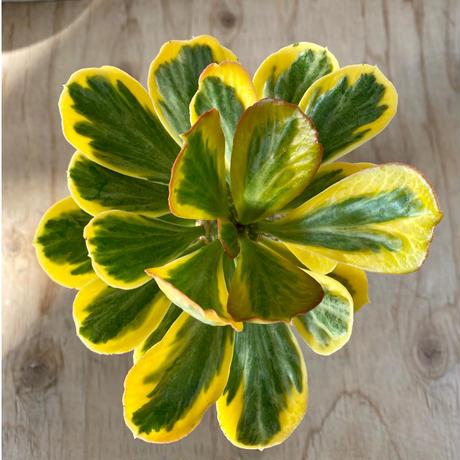 94、Euphorbia ポイソニー錦