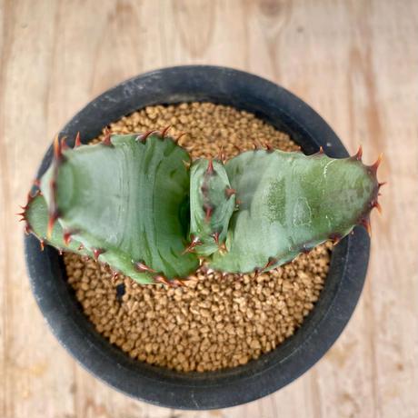26、Aloe マルロッチー