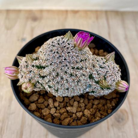 2、Mammillaria ヘルナンデシー(実)
