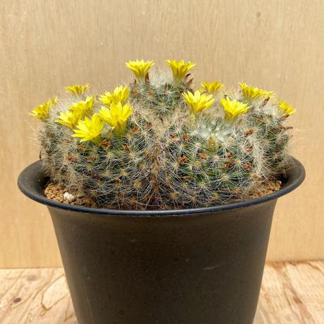 21、Mammillaria 芳香丸