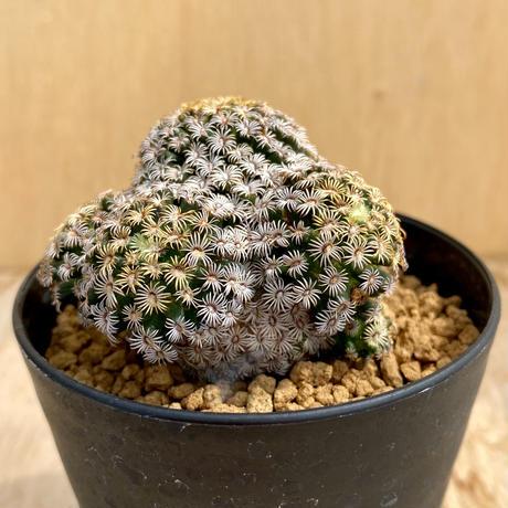 111、Mammillaria ヘルナンデシー(実)