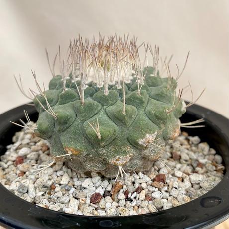103、Strombocactus 菊水(実)