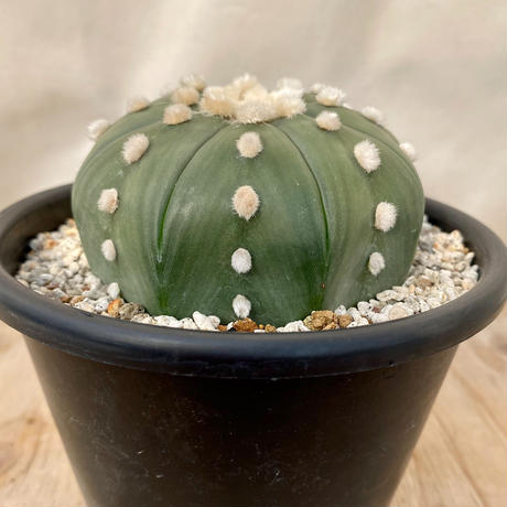 4、Astrophytum 大疣ルリ兜(実)
