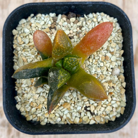 171、Astrophytum 亀甲牡丹錦(実)