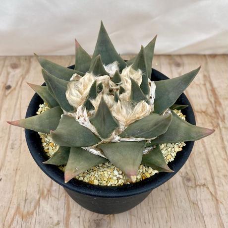 57、Ariocarpus 三角牡丹(実)