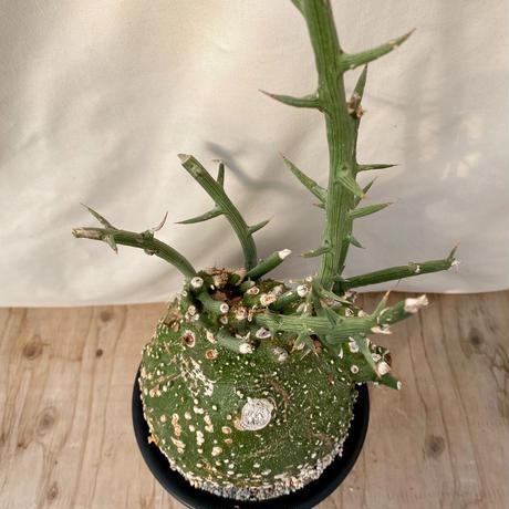 28、Adenia グロボーサ