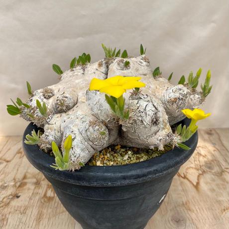 117、Pachypodium brevicaule