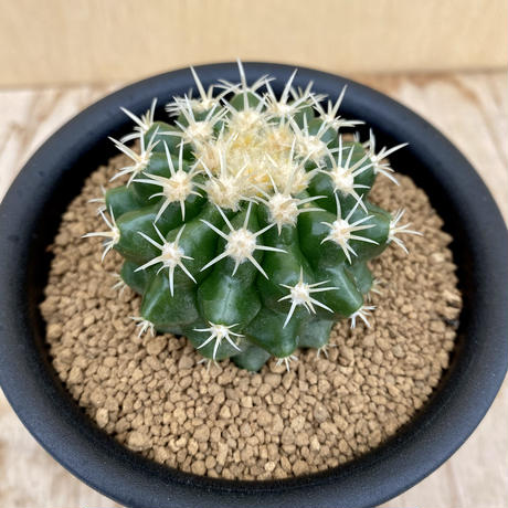 24、Echinocactus 刺無金鯱(実)