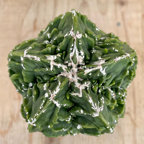 3、Astrophytum 複隆ヘキラン