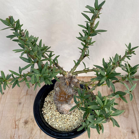 168、Pachypodium bispinosum