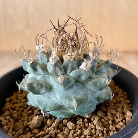 81、Turbinicarpus アロンソイ(実)