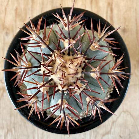 89、Echinocactus 尖紅丸(実)