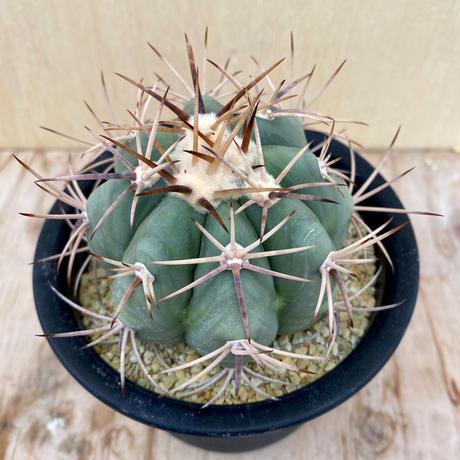 5、Echinocactus 太平丸(実)