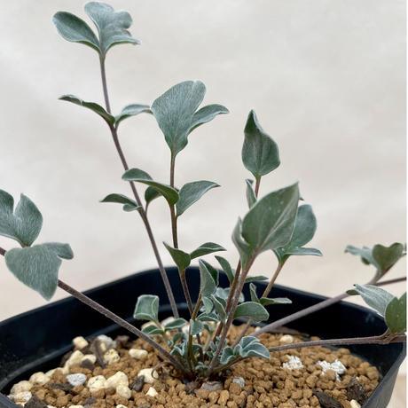 104、Pelargonium parvipetalum(実)