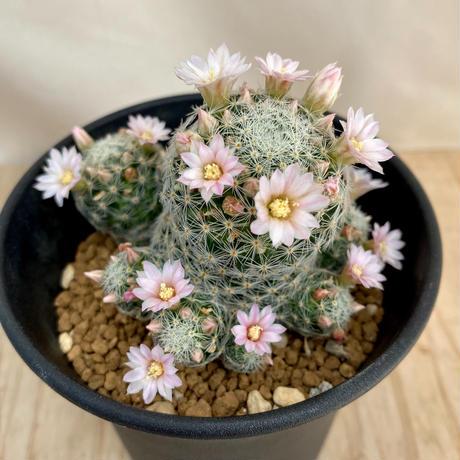 102、Mammillaria ギセラエ