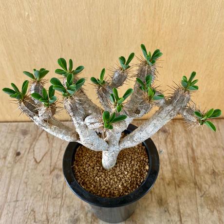 171、Euphorbia ギラミニアーナ