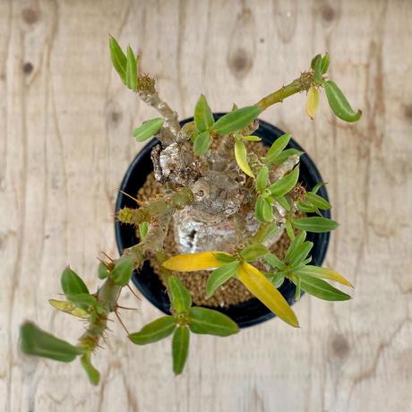70、Pachypodium bispinosum