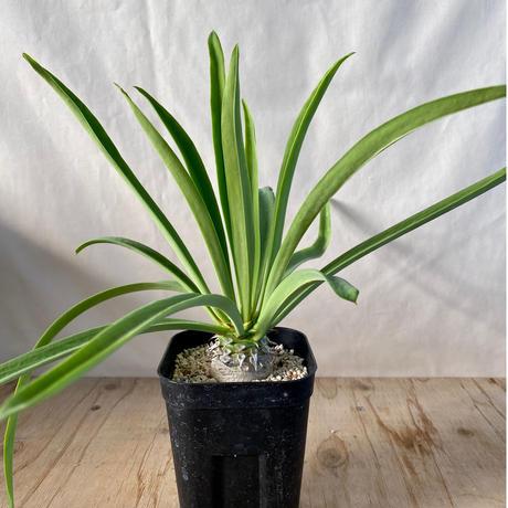 104、Euphorbia sapinii(実)