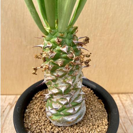 86、Euphorbia サピニー