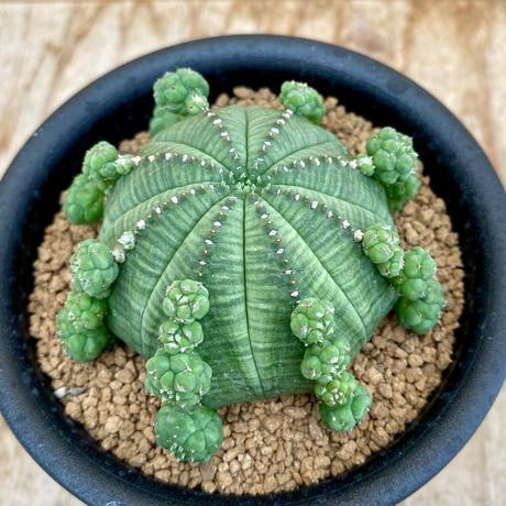 162、Euphorbia 仔吹シンメトリカ