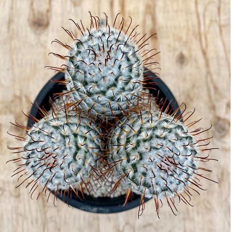 38、Mammillaria ペデスデラローサエ