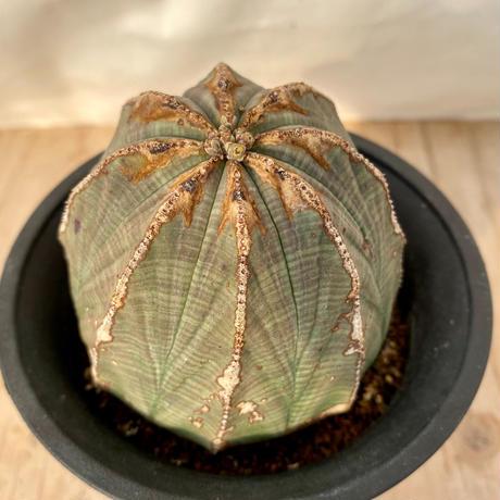 9、Euphorbia obesa