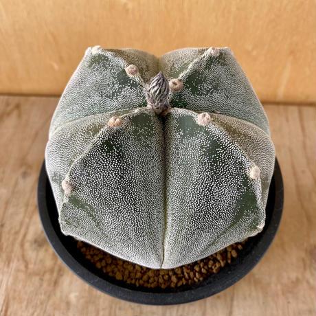 67、Astrophytum 特良ストロンギ(実)