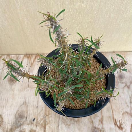 157、Euphorbia rossii