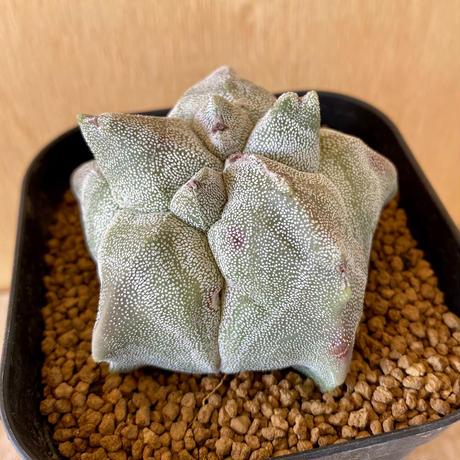 23、Astrophytum 特殊亀甲ランポー(実)(宇宙人)