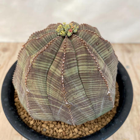 25、Euphorbia オベサ(実)