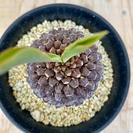 26、Euphorbia 鉄甲丸