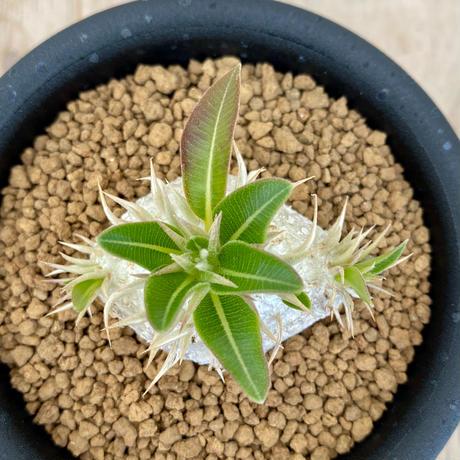 39、Pachypodium エニグマティクム(実)
