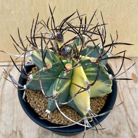 26、Astrophytum 大鳳玉錦