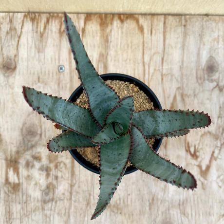 162、Aloe コニフェラ