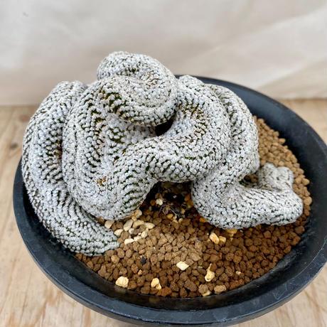 60、Pelecyphora スーパーバラ丸綴化