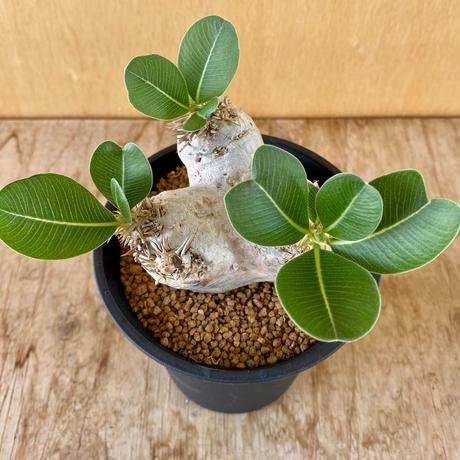 178、Pachypodium エブレネウム
